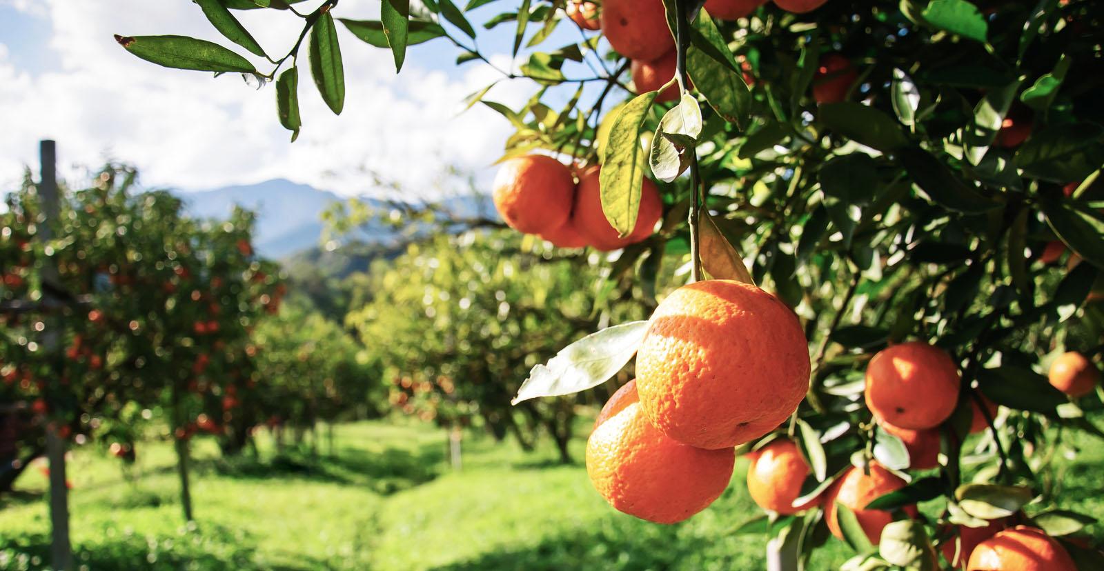 laranja agricultura
