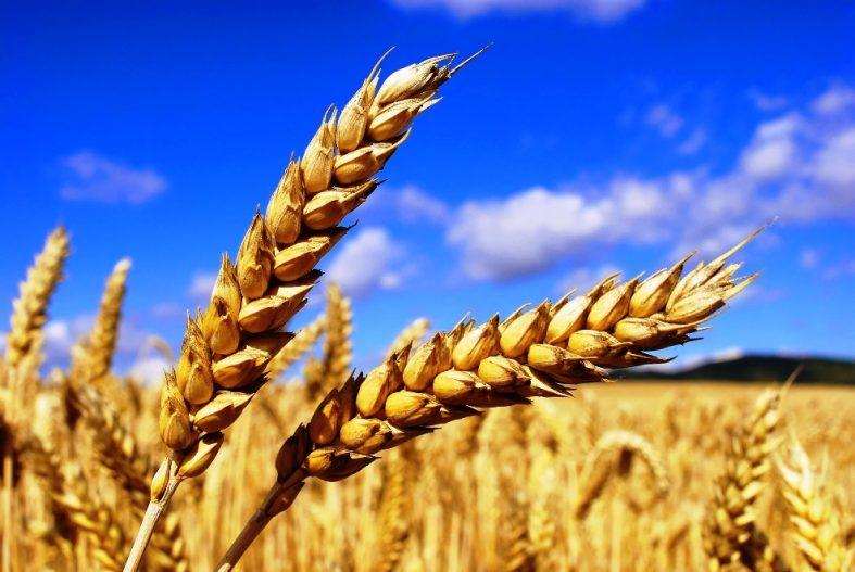 cereais agricultura