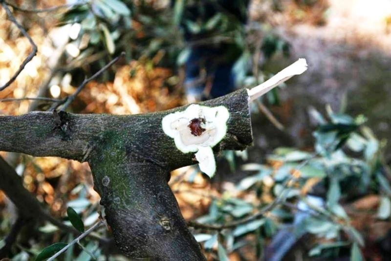 Sintomas de declínio rápido da oliveira observados em Puglia, Itália. Foto: EPPO