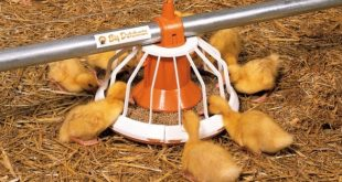 aviário 02 galinha