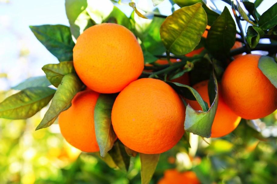 laranjas 01 agricultura