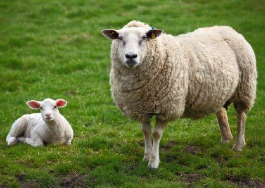 ovelha 01