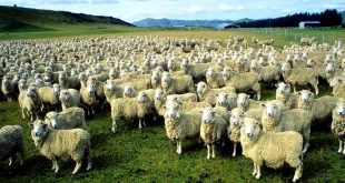 ovelha 02