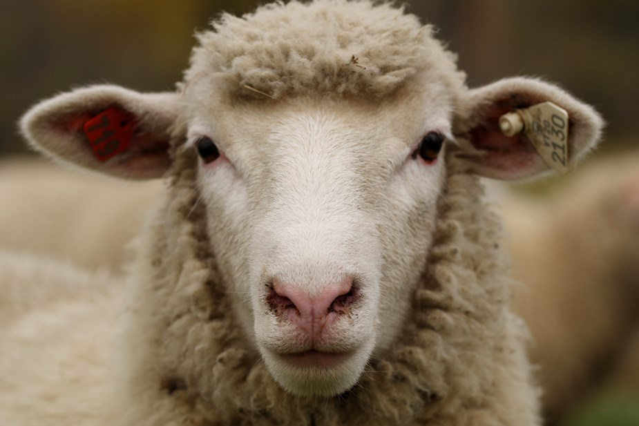 ovelha 03