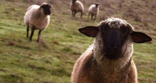 ovelha 04