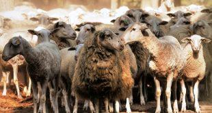 ovelha 05