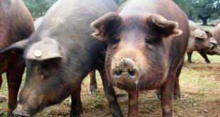 porcos 01