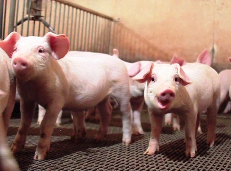 porcos 03