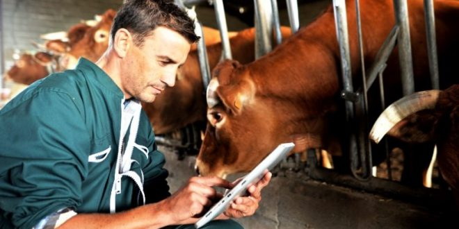 vacas veterinário 01