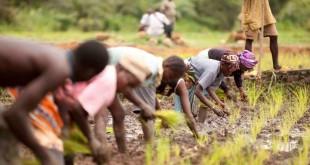agricultura guiné 01