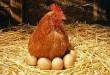 galinha 002