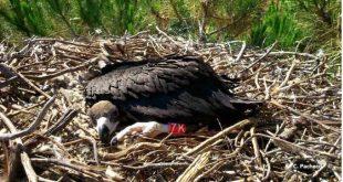 Cria de abutre-preto após a sua anilhagem no ninho artificial, na Herdade da Contenda.