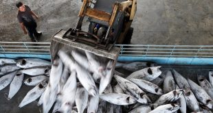 Pesca industrial de atum patudo do Atlântico. Foto: Alex Hofford, Greenpeace/Marine Photobank