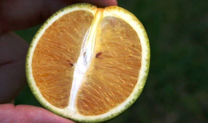 citrus-greening-02