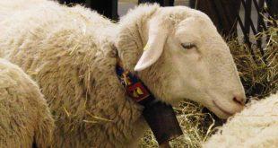 ovelhas-10
