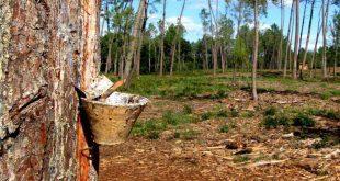 floresta pinheiro 01