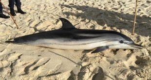 golfinho figueirinha_alterada