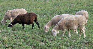 ovelhas 08