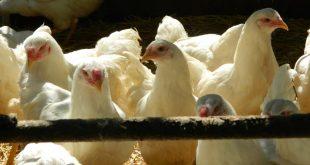 galinhas 10