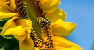 girassol abelha agricultura