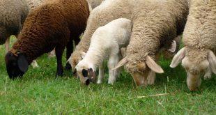 ovelhas SPPF