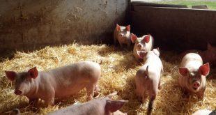 porcos 20