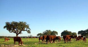vacas pastagens 02