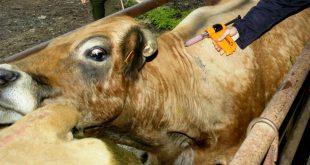 vacas veterinario 02