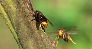 vespa asiatica 02 maxresdefault