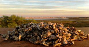 angulato ostras