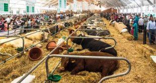 siam marrocos vacas elevage-1