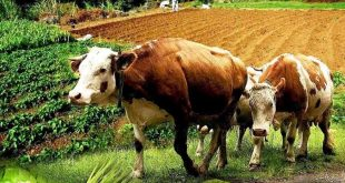 vacas feira-porto-moniz