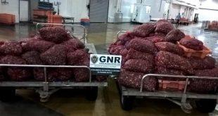GNR UCC Aveiro - Apreensão de 2646 quilos de amêijoa japonesa