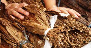 folhas de tabaco 02