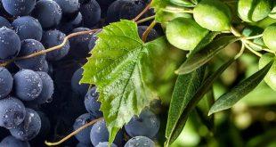 vinho azeite uva azeitona