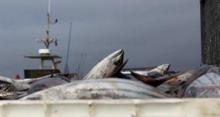 pesca Descarga-do-AtumBonito